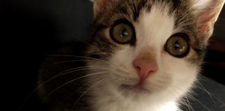kotka biało szara do adopcji